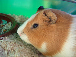 my guinea pig Gonzo