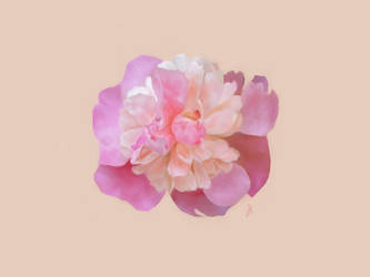 Pink Peony by SoloSnail