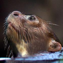 Otter Profile Morph