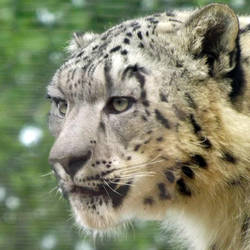 Snow Leopard Morph