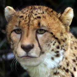 Cheetah Morph