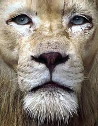 White Lion Morph