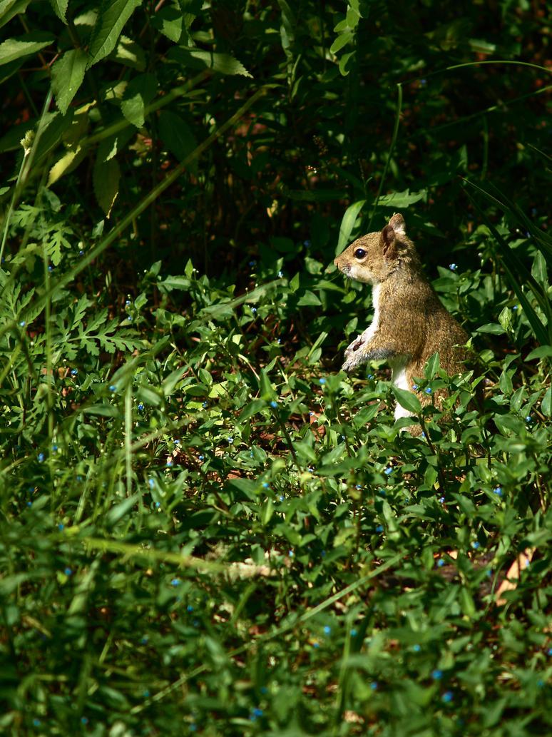squirrel_by_tmbroe01-d4v15qj.jpg