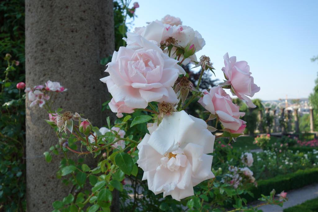 Rose 1 by Amigo-Rosenstein