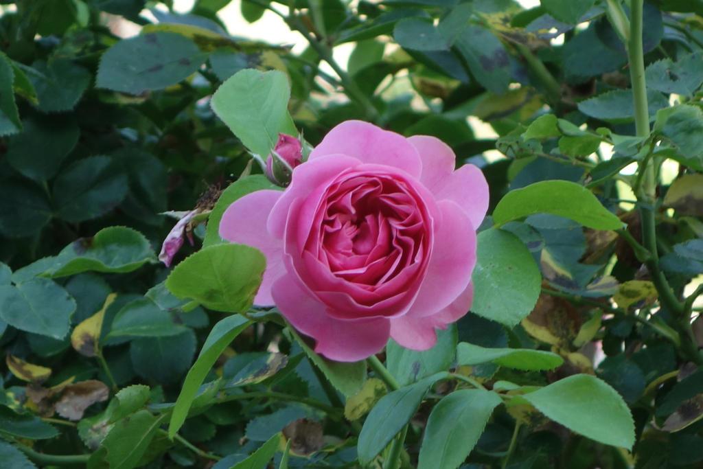 Rose 2 by Amigo-Rosenstein