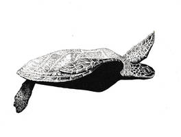 Sea Turtle (micron pen)