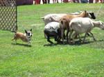 Corgi mix sheep herding