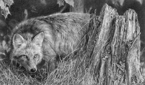 Red Fox Study
