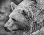 Grizzly Bear Study