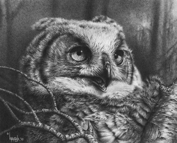 Juvenile Great Horned Owl by denismayerjr