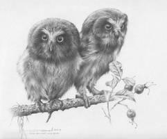 Young Saw- Whet Owls Study by denismayerjr