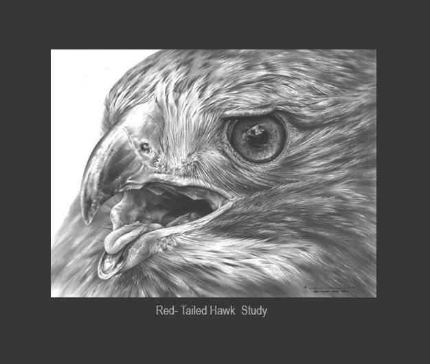 Red- Tailed Hawk Study by denismayerjr