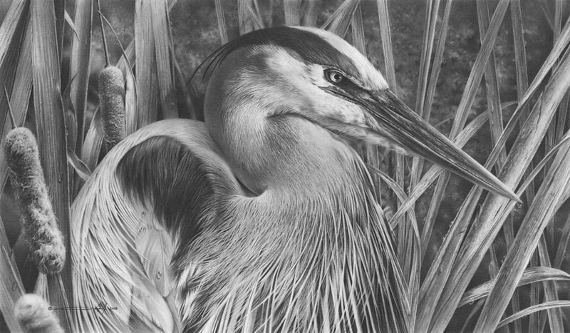 Great Blue Heron - Pencil Drawing by denismayerjr