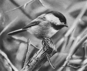 Black-Capped Chickadee Study by denismayerjr