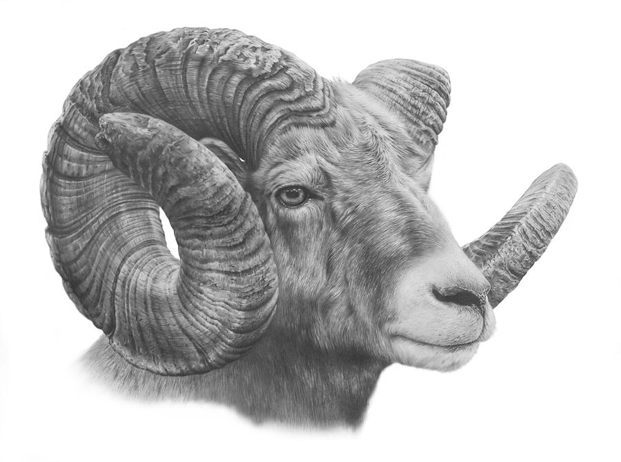 Bighorn Sheep Study by denismayerjr