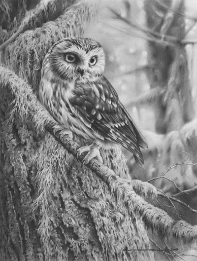 Northern saw-whet owl by denismayerjr