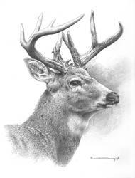 White Tailed Deer Study by denismayerjr