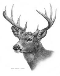 White Tail Deer - Pencil Drawing !