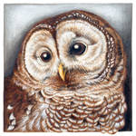 Barrred Owl portrait