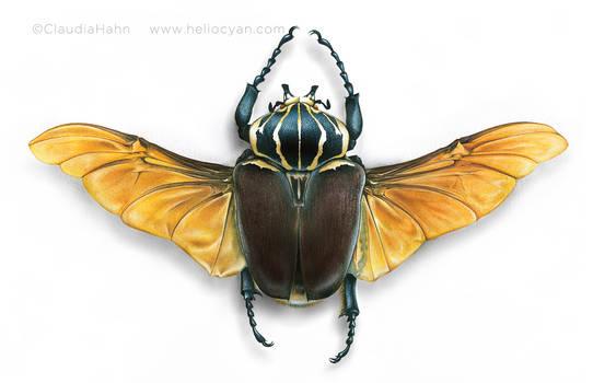 Goliathus Beetle