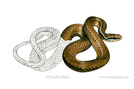 Snake field guide / Rhadinea pulveriventris
