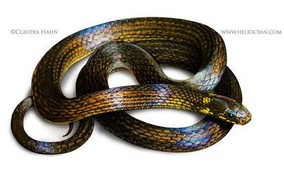 Pygmy snake
