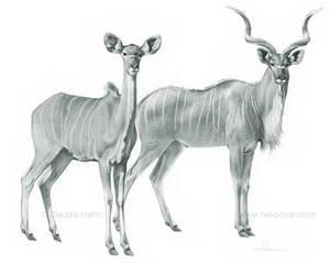 African Greater Kudu