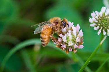 Bee by PLutonius