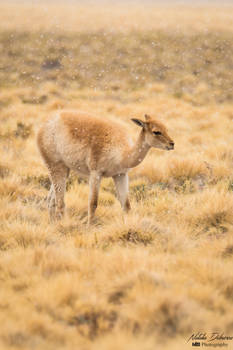 Guanaco in the Atacama Desert
