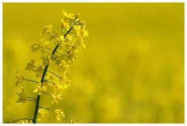 Fields_Yellow by zzuzzi