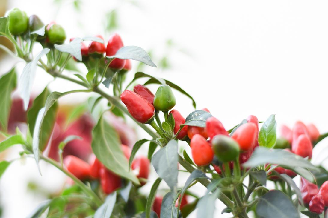 Planta de chile chilli plant by eftron on deviantart for Planta de chile