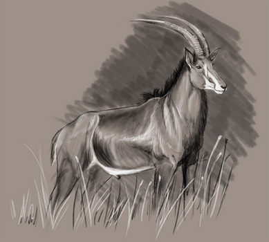 Sable Antelope Buck Study