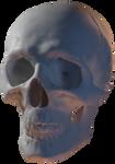 Skull (free 3D model) by ChameleonScales