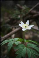 Anemone flower by tysmin