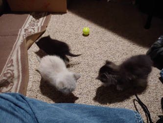 Feral Kittens being tamed