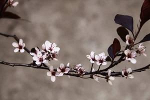 Cherry Blossom by esintu