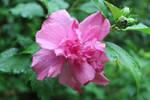 Rain on Pink Rose