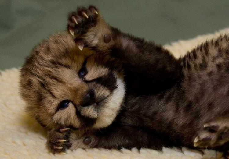 cute little cheetah cub by mowanza on deviantart