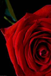 Every rose has its thorns by Thedooooooogman