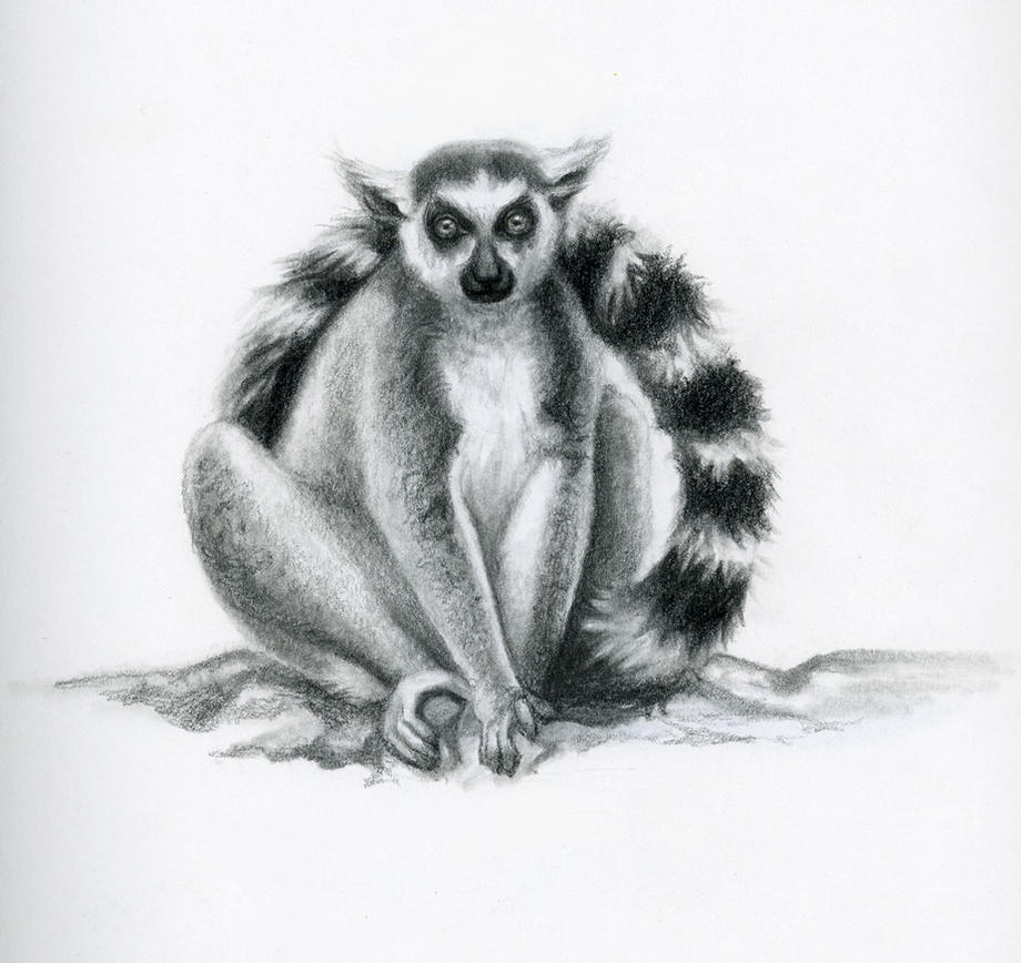 Lemur Pencil Drawing