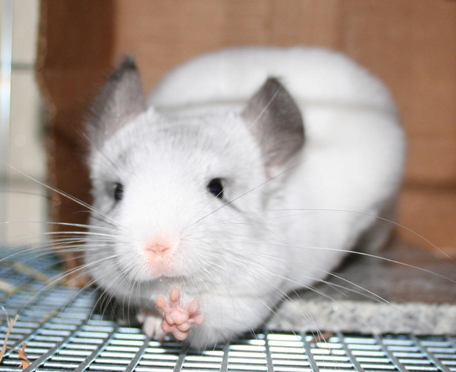 baby chinchilla pet - 88