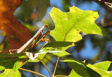 mantis by carvenaked