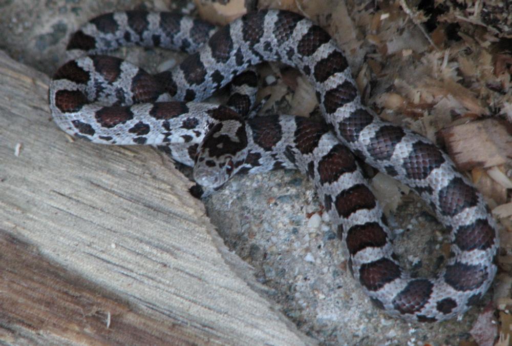 Baby Rat Snake By Carvenaked On Deviantart