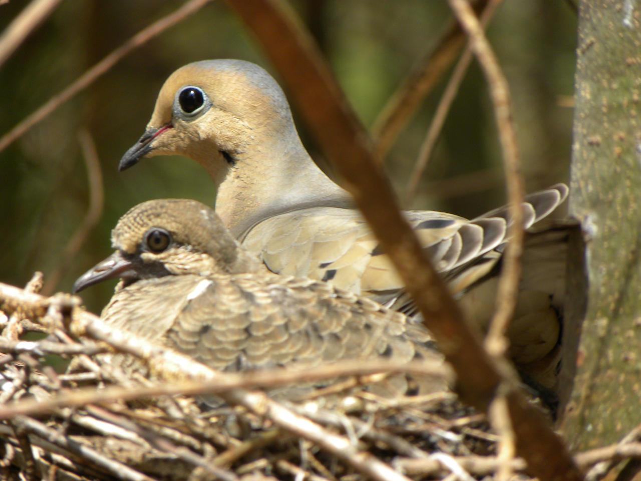 Doves in nest