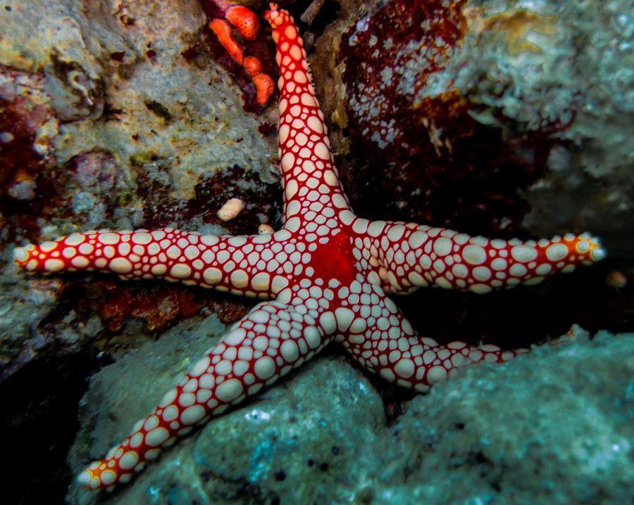 star fish 1 by iSeriouslySuckAtArt