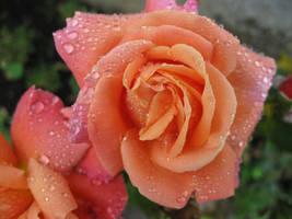 rainy rose by MAEssence