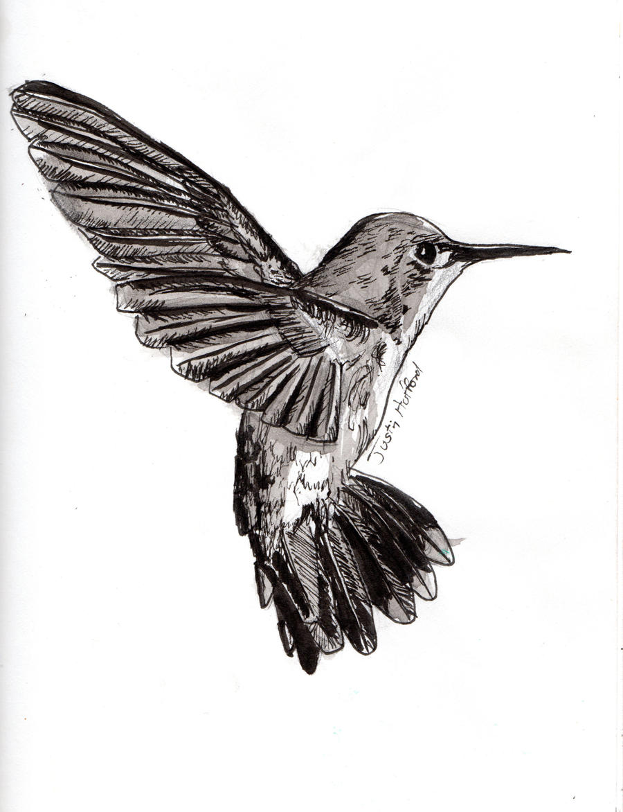 Hummingbird Drawings Step By Step: Hummingbird In Pen And Ink : Art