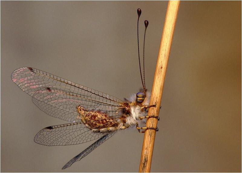 owlfly by nakitez