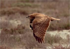 buzzard by nakitez