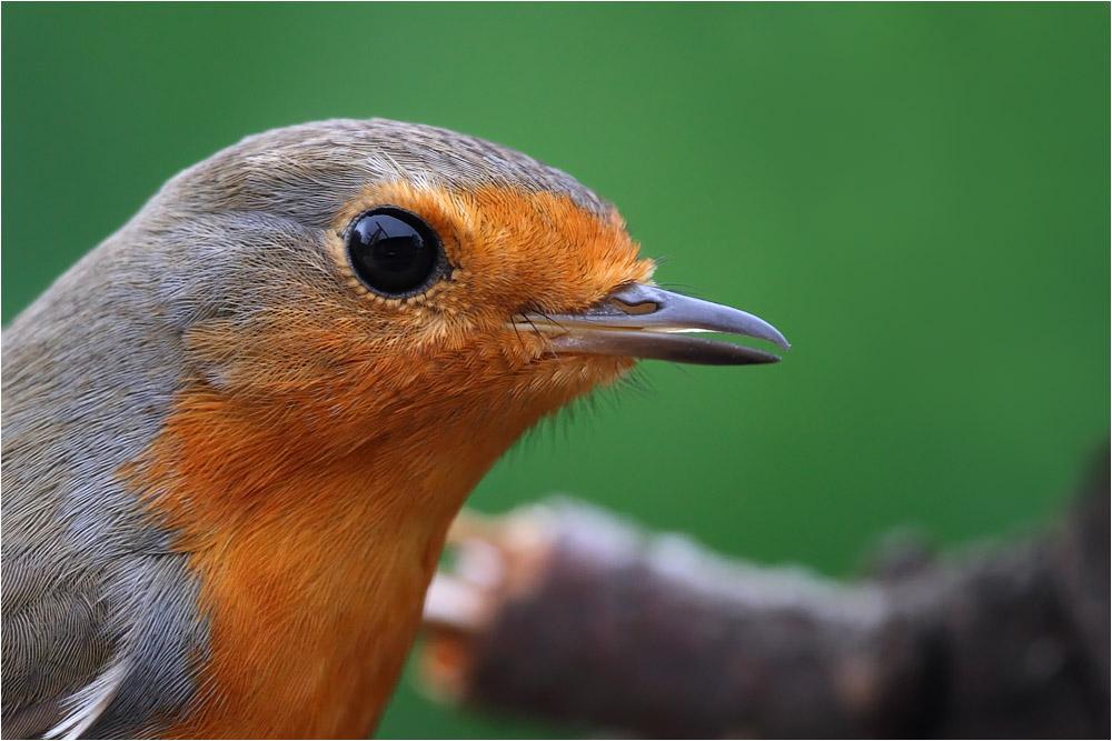 robin portrait by nakitez